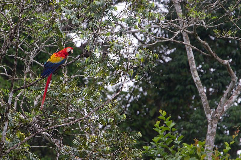 Lapa roja o Guacamayo rojo (Ara macao) en los bosques del norte de Costa Rica