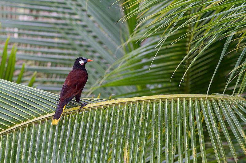 Oropéndola de Montezuma (Psarocolius montezuma)