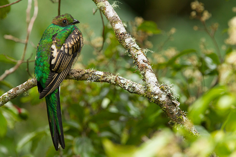 Pollo de quetzal