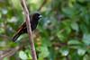 Scarlet rumped Tanager (Tangara lomiescarlata) macho