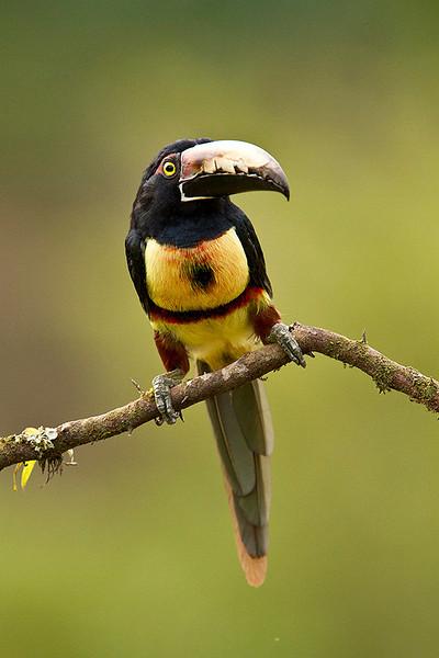 Tucancillo collarejo (Pteroglossus torquatus)