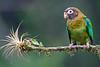 Pionopsitta haematotis (Loro cabecipardo)