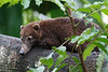 Pizote o Coatí (Nasua narica)