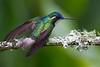 Macho de Colibrí Montañés coligris (Lampornis (castaneoventris) cinereicauda