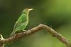 hembra del mielero verde