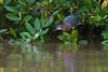 Garcilla verde (Butorides virescens)