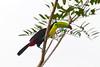 Tucán pico iris (Ramphastos sulfuratus)