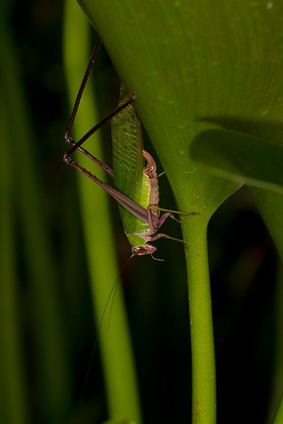Grasshoper on Eichornia