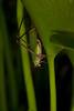 Grasshoper on Eichornia