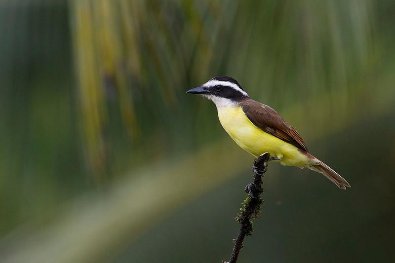 Bienteveo (Pitangus sulphuratus)