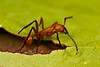 Army ant. Eciton.