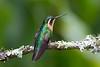 Hembra de Colibrí Montañés coligris (Lampornis (castaneoventris) cinereicauda