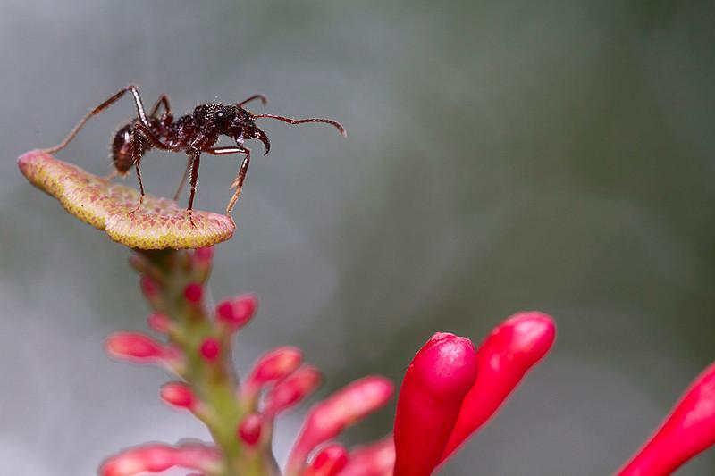 Ectatomma cf ruidum sobre inflorescencia de Odontonema