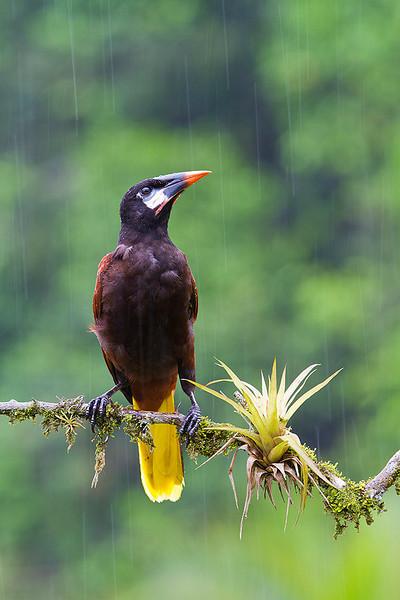 Oropéndola de Montezuma (Psarocolius montezuma) en el bosque lluvioso