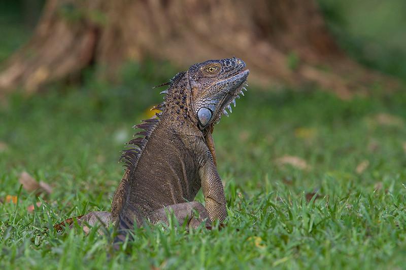 Iguana en los márgenes de Río Frío (N de Costa Rica)