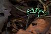 Ranita dardo verdinegra patrullando por el suelo del bosque (Dendrobates auratus). Se suele encontrar en el suelo, entre la hojarasca y restos del bosque donde caza pequeños insectos.