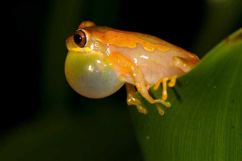 Detalle de ranita cantando sobre hoja de camalote, realizada con flashes. (Dendropsophus ebraccatus)