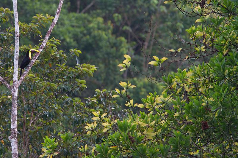 Tucán de Swainson (Ramphastos swainsonii)