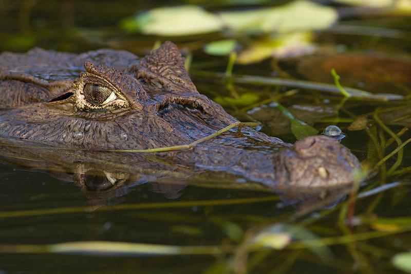 Caimán (Caiman crocodrilus)