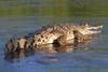 Cocodrilo en el río Tárcoles. Crocodylus acutus