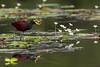 Jacana caminando en el lecho de hojas flotantes de Trapa y Nymphoides.