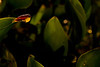 Dendropsophus ebraccatus (=Hyla ebraccata) cantando sobre hojas de camalote de noche. Foto realizada sin flash.