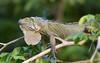 Iguana verde (Iguana iguana) descansando en los árboles de las orillas de Río Frío (Norte de Costa Rica)