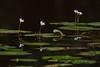 Nymphoides indica dominando visualmente el conjunto de especies vegetales acuáticas de los humedales de Caño Negro