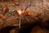 Army ant. Genus Eciton