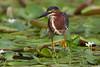 Garcilla verde (Butorides striatus virescens) pescando sobre el lecho de hojas flotantes.