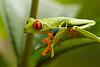 Agalychnis callidryas, rana calzonuda o ranita de ojos rojos.