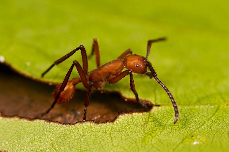 Army ant. Eciton. <br /> Hormiga de género Eciton fotografiada en suelo del bosque en zona norte de la vertiente Caribe. Este individuo se separó un momento de la veloz y numerosa hilera que cruzaba el sendero del bosque.