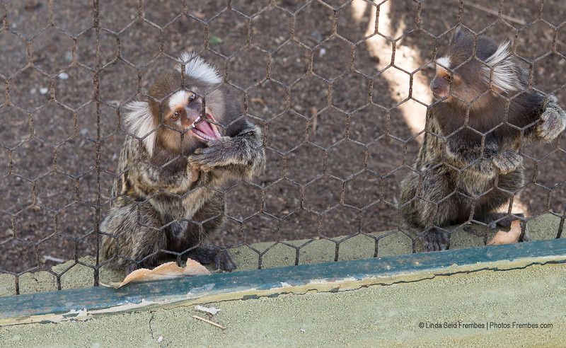 These marmosets at Monkey Park were hilarious. The one on the left would not stop gnawing at the cage. The facial expression on the one on the right says it all.