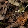 Juvenile dead leaf-mimicking katydid (Celidophylla albimacula)