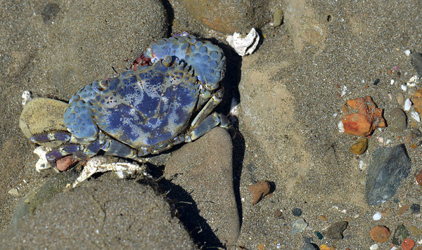 Blue crab, Playa Santa Teresa