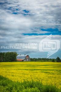 Golden fields under a blue sky