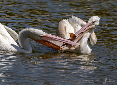American White Pelicans playing with leaf