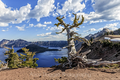 Ancient White Bark Pine Tree, Crater Lake National Park, Oregon