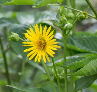 7-06-17.  Cup Plant Flowers, Silphium perfoliatum.