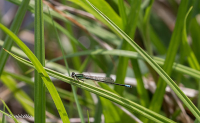 04-30.  Eastern Forktail., Ishnura verticalis.  Always one of the earliest Damsels or Dragons.