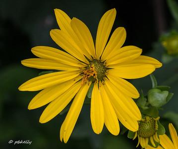 7-24-17.  Jerusalem Artichoke flower.