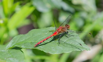 070817. Ruby Meadowhawk, Sympetrum rubicundulum.