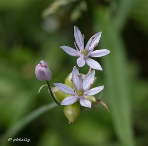 This is a closeup of the flower of a wild onion.  Very tiny and easily overlooked.