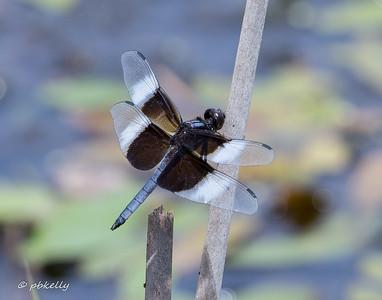 07-20-17. Widow Skimmer, Libellula luctuosa.