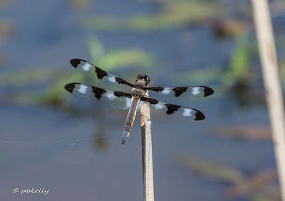 06-04-17. Twelve Spotted Skimmer, Libellula pulchella.