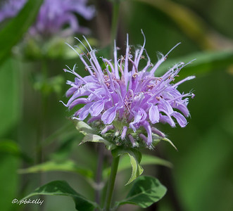 Wild Bergamot flower, Monarda fistulosa.  This was a new observation this year.
