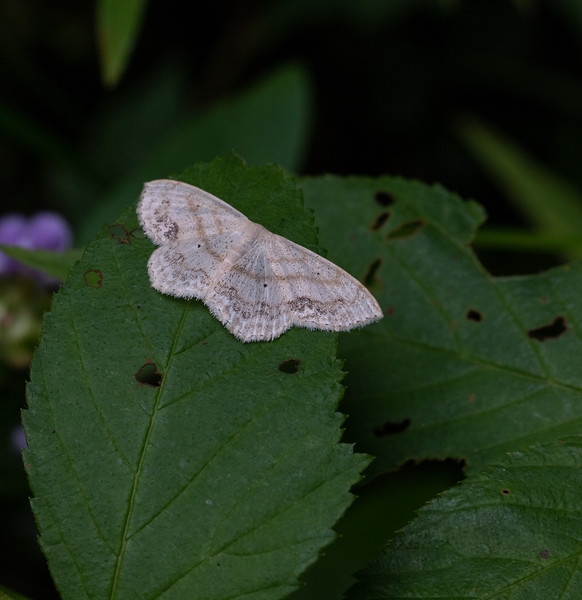 Large Lace Border moth.  I love the detail in the wings.