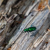 6 Spotted Tiger Beetle.