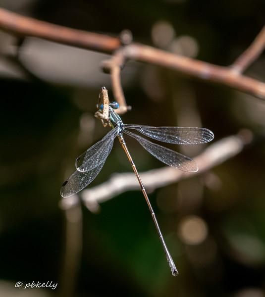 Slender Spreadwing male.
