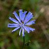 Chicory with another type of Syrphid fly.